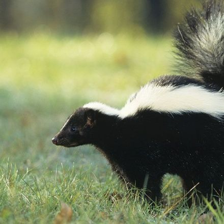 A fungus makes a chemical that neutralizes the stench of skunk spray