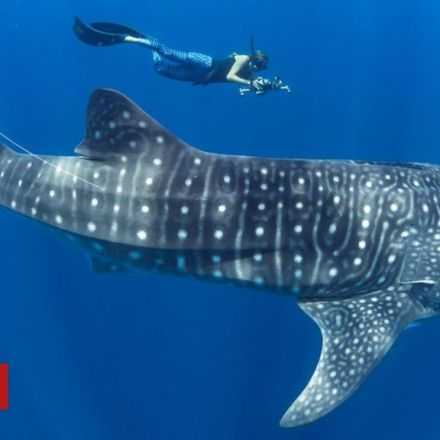 Madagascar emerges as whale shark hotspot