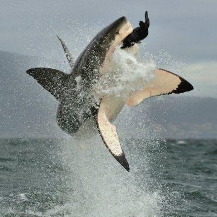 Great white sharks and tuna share genetics that makes them super predators