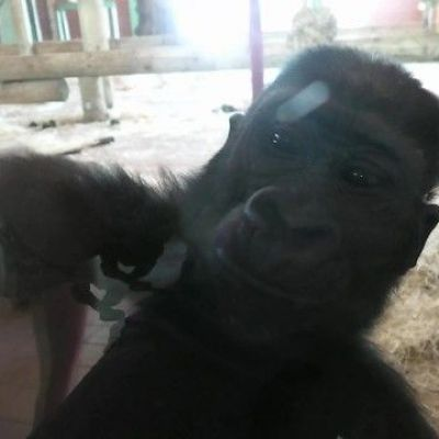 Gorilla charges son after taking playtime too far