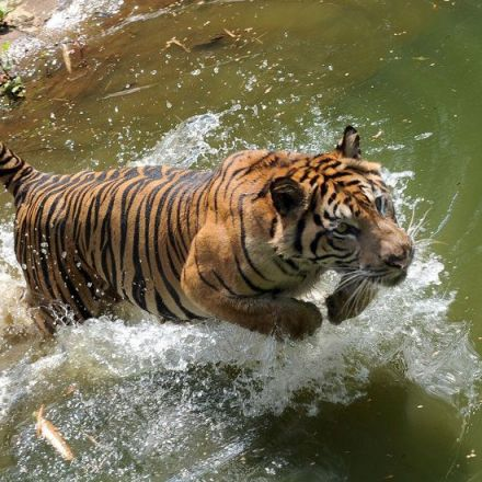 Divide and Preserve: Reclassifying Tigers to Help Save Them From Extinction