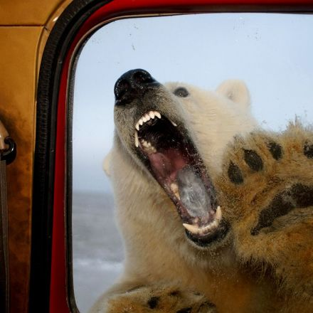 Polar bear attacks on people set to rise as climate changes