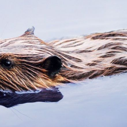 Beavers are engineering a new Alaskan tundra