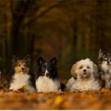 Where did your dog come from? New tree of breeds may hold the answer