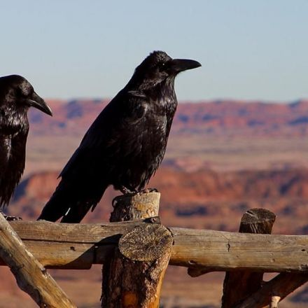 Ravens Are So Smart, One Hacked This Researcher's Experiment