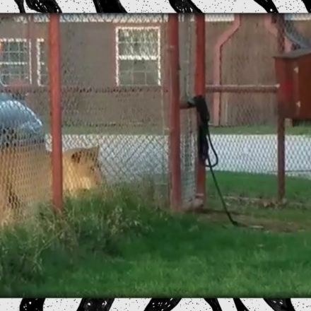 A Cheeky Little Calico Cat Boldly Stares Down a Confused Lion With Only a Fence Between Them