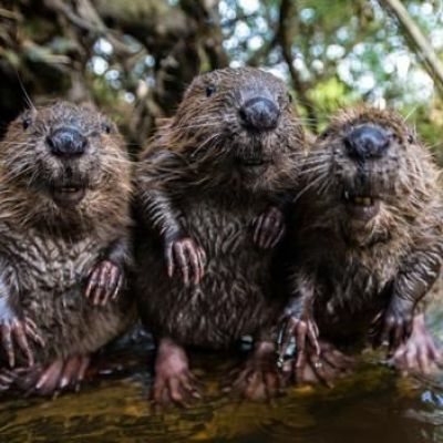 Beavers are back in the UK and they will reshape the land