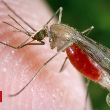 GM fungus 'kills 99% of malaria mosquitoes'