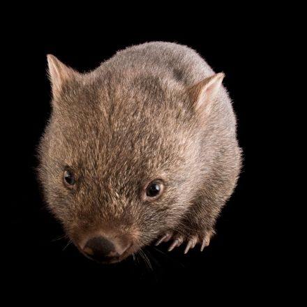 Why is wombat poop cube-shaped?