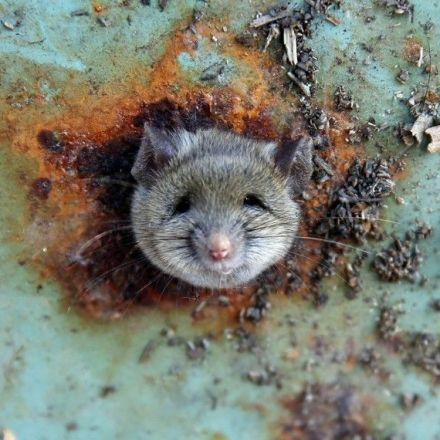 New York City Has Genetically Distinct 'Uptown' and 'Downtown' Rats