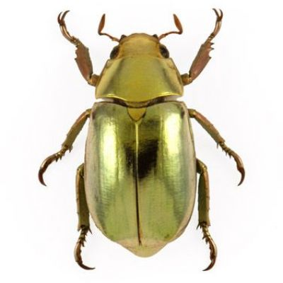 Nanostructures explain why jewel scarab beetles look like pure gold
