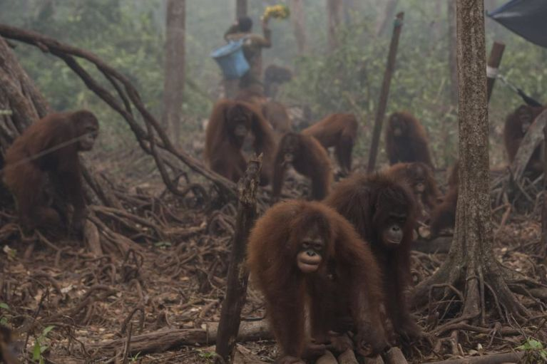 Orangutans walk as haze shrouds Borneo Orangutan Survival Foundation camp in Nyaru Menteng, Indonesia.  Malaysia has called on Indonesia to take action against people setting fires that have caused choking drift across the region