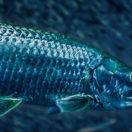 Tarpon Fish Hunting