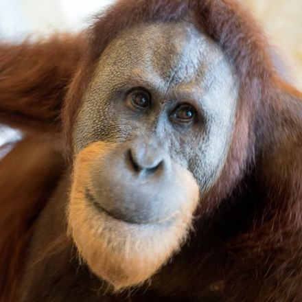 Orangutan 'copies human speech'