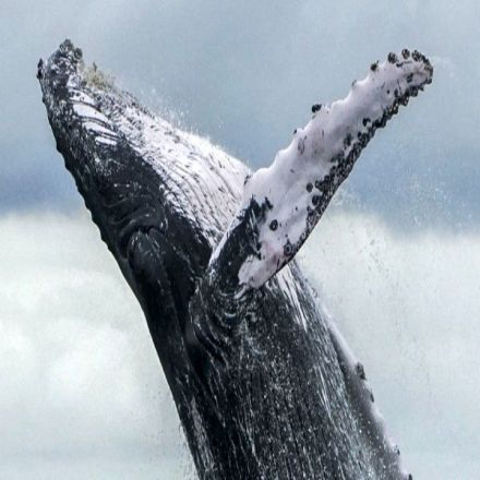 The History of the Oceans Is Locked in Whale Earwax