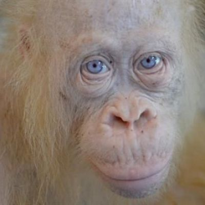 Extremely Rare Albino Orangutan Found in Indonesia