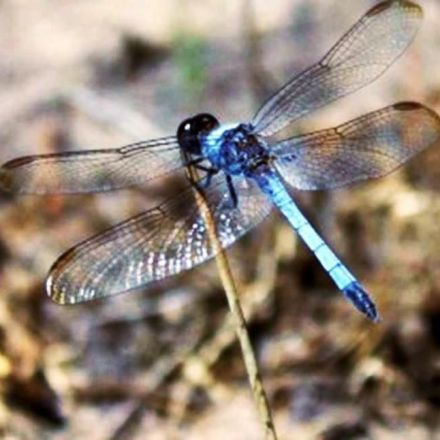 Researchers identify new species of dragonfly in Brazil