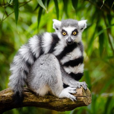 Is It Possible to Smell Weakness? Lemurs Can