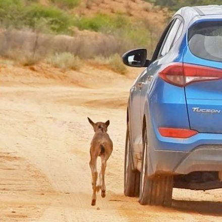 Lost Baby Wildebeest Thinks Cars Are Its Herd