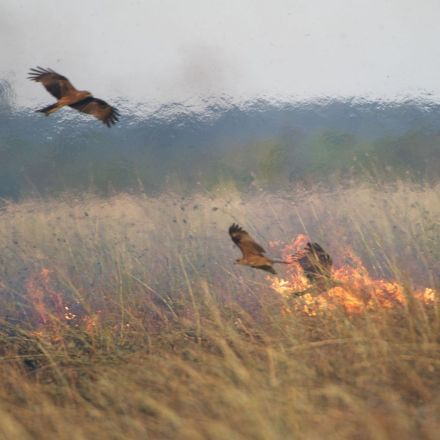 Australian raptors start fires to flush out prey