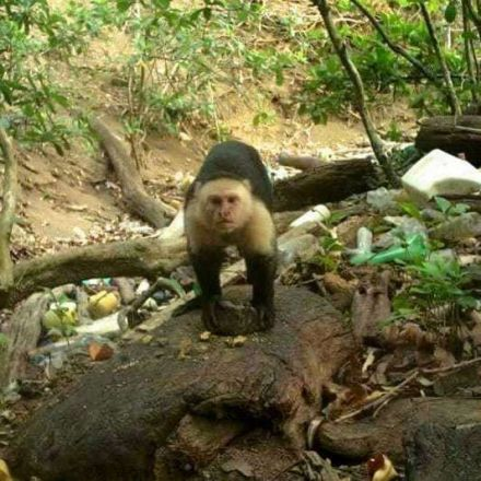 Monkeys in South America 'enter the Stone Age by using tools to break food'
