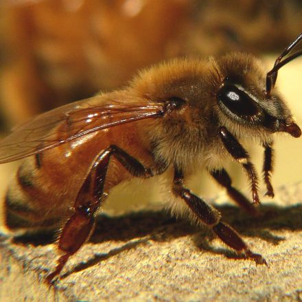Leading insecticide cuts bee sperm by almost 40%, study shows