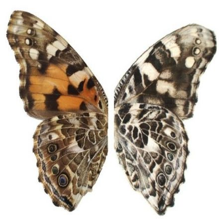 Scientists Can Now Repaint Butterfly Wings