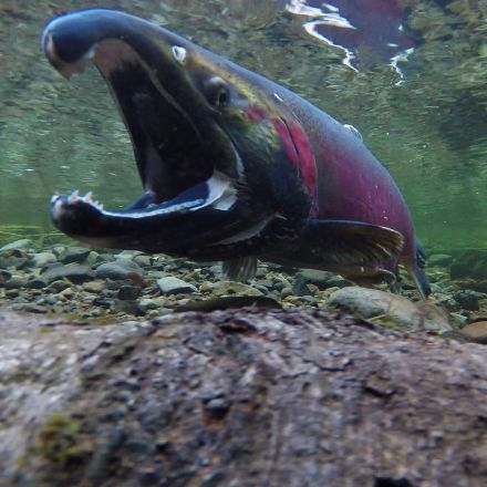 As Northwest Salmon Economy Teeters on Brink, Trump Gives It a Push