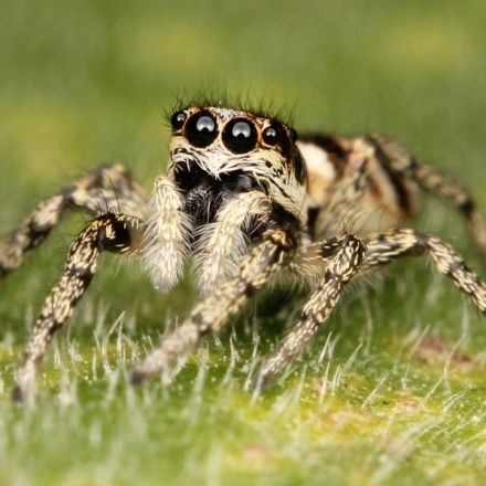 Tiny Jumping Spiders Can See the Moon