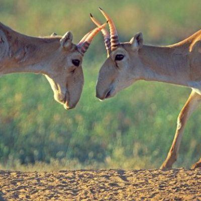 Saigas, an Endangered Antelope, Dying of Mystery Disease