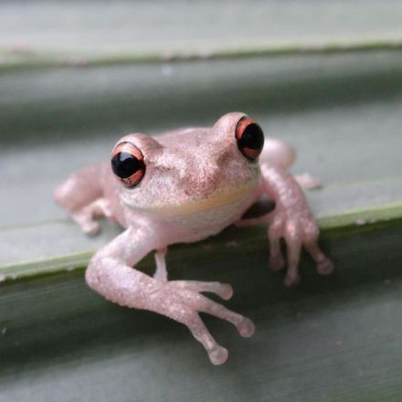 Invasive, Cannibalistic Tree Frogs Are Spreading Across the Gulf Coast
