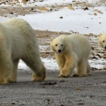 Polar Bear Cubs at High Risk from Toxic Industrial Chemicals, Despite Bans