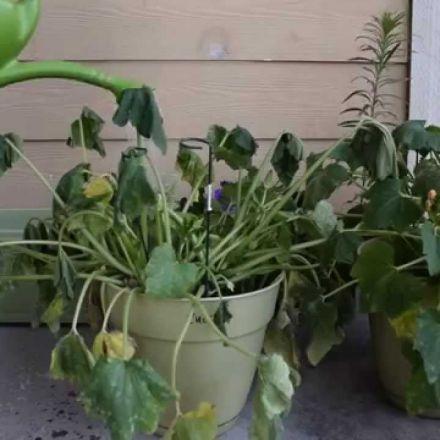 Thirsty zucchini plant