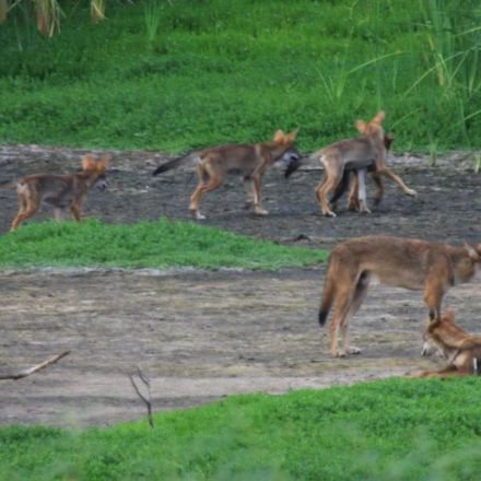 Scientists Find Red Wolf DNA in a Unique Group of Wild Dogs in Texas