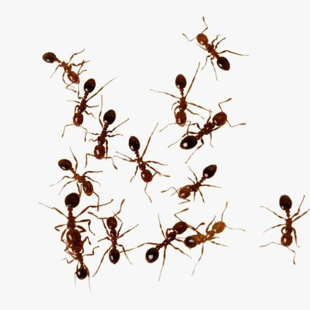 Why Those Floating Fire Ant Colonies In Texas Are Such Bad News