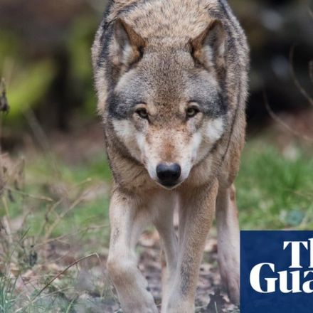 Return of wolves to Germany pits farmers against environmentalists