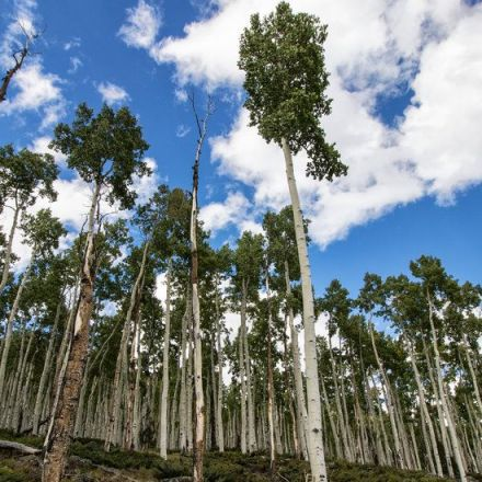 Pando, the Most Massive Organism on Earth, Is Shrinking