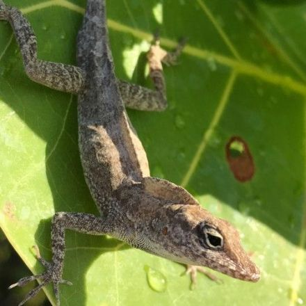 After Last Year's Hurricanes, Caribbean Lizards Are Better at Holding on for Dear Life