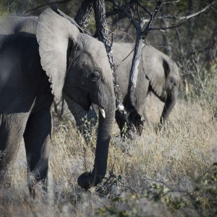 Elephant tramples and kills hunter trying to shoot it