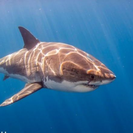 Sharks cope with levels of heavy metals in their blood that would kill other animals