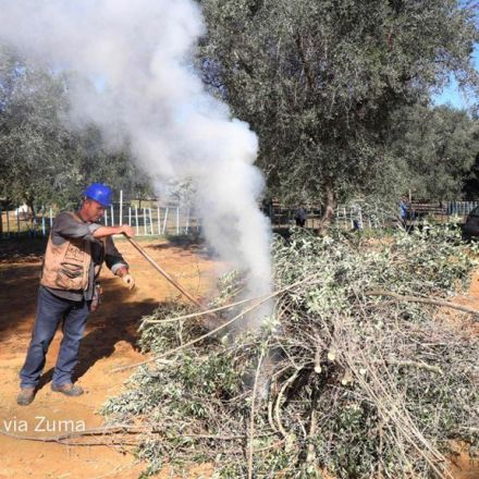 Italy's olive crisis intensifies as deadly tree disease spreads