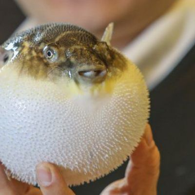 In China, eating pufferfish is no longer a dance with death