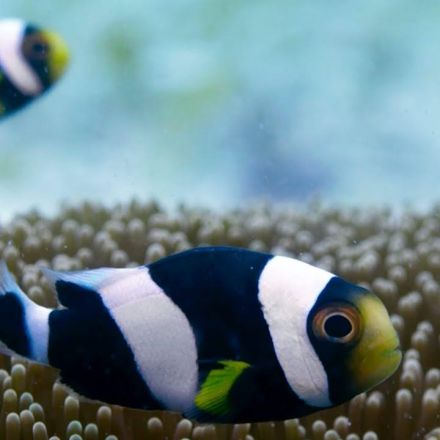Incredible Teamwork From Little Clownfish