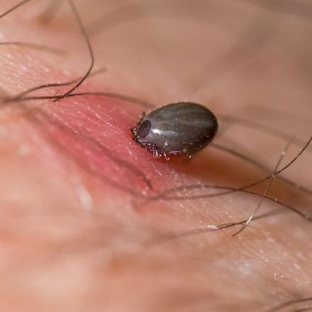 Tick saliva 'gold mine' blocks killer heart condition
