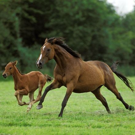 Most modern horses came from just two ancient lineages
