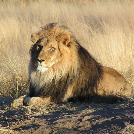2 lions, rescued from circuses, are poached in South Africa
