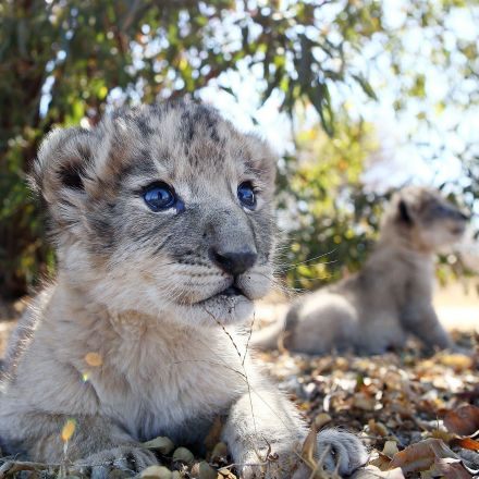 World's first test tube lions are thriving and raising hopes more big cats could be saved from extinction
