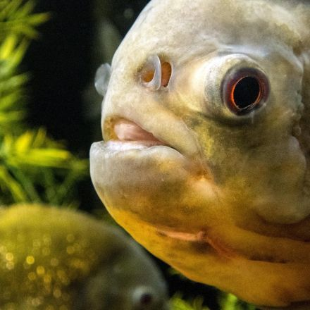 'Sad surprise': Amazon fish contaminated by plastic particles