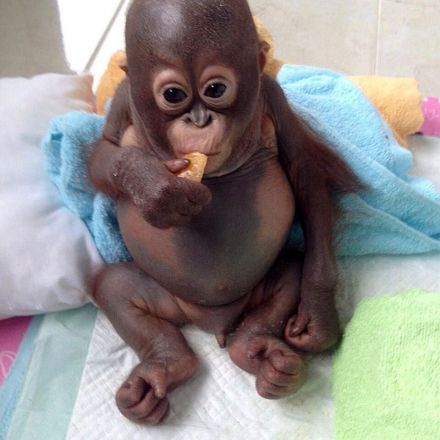 Crying baby orangutan Budi receives loving care after suffering year of neglect