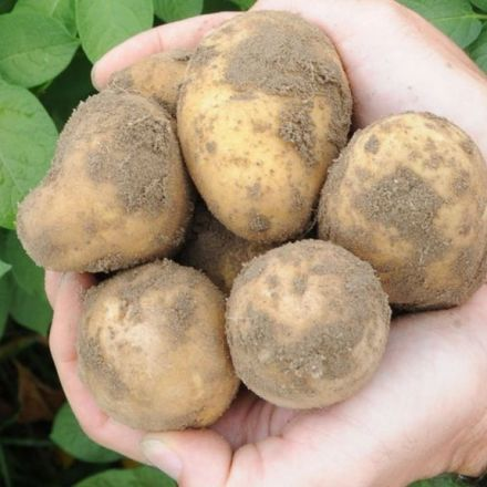 Chinese scientists to grow potatoes on the moon
